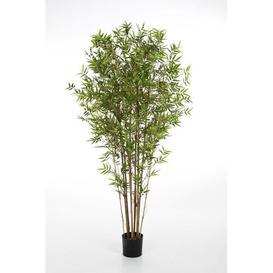 image-Kanayo Arrow Bamboo in Pot artplants.de